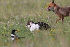 Magpie, Kitty Kat & Fox (Dan Belton ( No Badger Cull )) Tags: uk red summer urban nature animal cat suburban leicestershire wildlife july fox magpie loughborough 2012 vulpesvulpes
