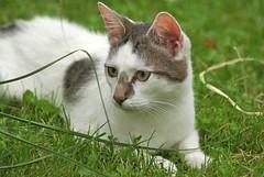 IMGP9422 (frankbehrens) Tags: cats cat chats chat lawn gatos gato gras katze katzen rasen