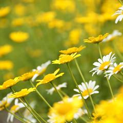 Marguerite (peaceful-jp-scenery (busy)) Tags: flower sony 日本 tamron bandai α listel 福島 inawashiro b008 ハーブ園 猪苗代 dslra700 磐梯高原 18270mmf3563diⅱpzd リステル