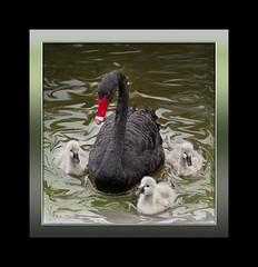 Black Swan With Cygnets (Nickerzzzzz :)) Tags: blackswan cygnets hss dawlishwarren 70300isusm canon60d