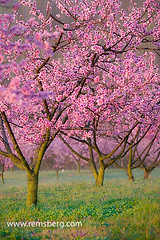 Peach trees in blossom.Albermarle Cider works (Remsberg Photos) Tags: pink usa tree fruit garden outdoors virginia flora blossom peach orchard ag bloom charlottesville agriculture gardenthings outdoorsthings agriculturethings