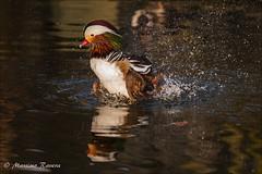 IMG_6425 (Massimo&StefaniaRavera) Tags: bird birds animals uccelli mandarinduck animali aixgalericulata oasi lipu anatramandarina