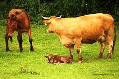 New born (Grandgi) Tags: horse caballo cheval kuh cow mare cows birth horns delivery calf pferd cuernos naissance nacimiento vache vaca parto veal stufe kalb geburt ternero yegua jument hrner veau cornes accouchement entbindung kalben tocalve tournesols2 marcgrandgirard vler
