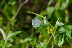 Barred Yellow 070412-176.jpg (larrysfl) Tags: butterflies insects southflorida browardcounty barredyellow euremadaira hamptonpinesparknorthlauderdale