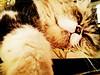 drowsy (som300) Tags: cat pet housecat chicken motorola zn5 cameraphone