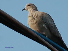 Morning Dove (wade in da water) Tags: summer canada bird nature beauty animals britishcolumbia pacificnorthwest westcoast 200mm wonderfulworld zenaiduramacroura passionphotography nikond40 avianexcellence beautifulcapturegroup wadeindawater nikonpassion