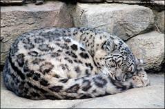 Happy weekend.... (jfelege) Tags: sleeping snow wisconsin cat big leopard bigcat milwaukee snowleopard milwaukeewisconsin mcz bigcatsleeping zoosofnorthamerica wisconsinzoo flickrbigcats tomiris snowleopardsleeping snowleopardsleeps