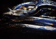 Look Good in Leather (osvaldoeaf) Tags: light brazil up leather animals brasil fauna zoo scary close boa reflexions snakes goinia reptiles gois