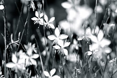 Fragile Gift (V. Sharma) Tags: park flowers wallpaper two blackandwhite garden team twins couple shoot blossom head duo cluster vine spray combine match spike duality annual bud mates brace herb span deuce combination perennial posy doublet combo twosome yoke inflorescence pompon floweret twoofakind floret efflorescence dyad