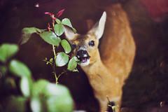 99160406 (hobopeeba) Tags: food tree water pool leaves rose garden bokeh deer roe smalldeer canon50mm12 omnomnom 5dmarkiii highqualityanimals