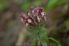 Pedicularis canadensis - Rappahannock County, Virginia, United States of America (Pecos Valley Diamond) Tags: flower virginia native wildflower pedicularis pediculariscanadensis lousewort canadianlousewort scrophularaceae figworts