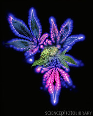 cannabis budding stages =) (Ckíp silít =)) Tags: field composite illustration photography leaf glow technology image science corona drug physics dope marijuana technique electromagnetic physical techniques discharge scientific narcotic cannabissativa psychoactive superskunk ionized kirlianphotography kirlianphoto