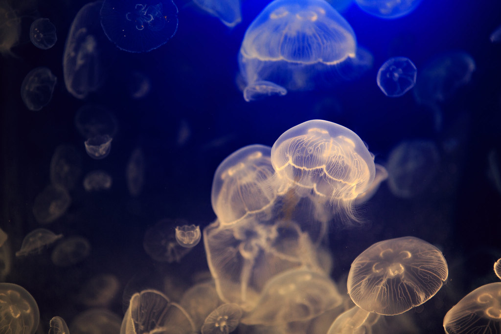 81786ffa6374 Moon Jellyfish (QuikSink) Tags  ocean blue orange moon fish water animal  swimming swim