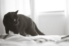 Fjord! (Mijaeus) Tags: blackcat kitty gato gata pussykat blakie gataposera