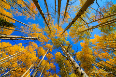 Gold and Blue (Matt-Payne) Tags: blue autumn sky fall gold colorado fallcolors aspen crestedbutte aspentrees westelkmountains elkmountains