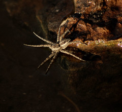 spider on the water (p may) Tags: water minnesota river mississippi spider arachnid stpaul mississippiriver pavlina pmay