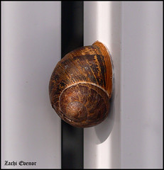 Snail at My House (Zachi Evenor) Tags: house home israel shell snail helix snails  shall   helixaspersa        cantareusaspersus cantareus aspersus zachievenor