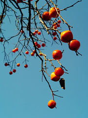 IMGP9950 (oasisframe) Tags: blue autumn trees red fall yellow fruit bluesky korea persimmon southkorea fruitful     persimmontrees koreaimage