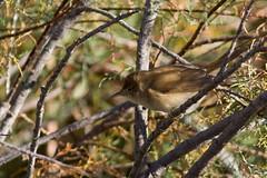 Rousserolle Effarvatte (m-idre31) Tags: bird marais oiseau 34 hrault portiragnes acrocephalusscirpaceus eurasianreedwarbler tamaris rousserolleeffarvatte roselires passriformes acrocephalids