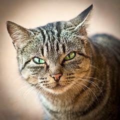 Gato enfadado (Juan Antonio Cap) Tags: animal cat canon kat feline chat gato felino katze mace  gatto  kot gat koka kedi kissa kttur maka kucing pusa mo moix    minino    pisic