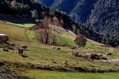 Andorra rural: Vall d'Orient (lutzmeyer) Tags: november autumn nature animals rural landscape tiere kuh europe novembre dorf village cows herbst landwirtschaft natur pueblo natura paisaje noviembre pasto agriculture landschaft andorra pyrenees khe vaca iberia pirineos pirineus tardor iberianpeninsula paisatge pyrenen otono agricultura poble vaques prats 1580m pastureland canillo pastura viehweide weideland iberischehalbinsel valldorient vallorient canilloparroquia lutzmeyer lutzlutzmeyercom