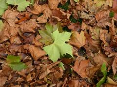 GOLD & GREEN NATURE MACHINE 1 (BIKEPILOT) Tags: autumn green nature gold leaf maple hampshire aldershot municipalgardens