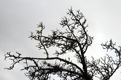 im Colsrak-Moor, NSG Alte Sorge-Schleife; Meggerdorf, Stapelholm (87) (Chironius) Tags: gegenlicht meggerdorf stapelholm schleswigholstein deutschland germany allemagne alemania germania германия szlezwigholsztyn niemcy moor sumpf marsh peat bog sump bottoms swamp pantano turbera marais tourbière marécageuse baum bäume tree trees arbre дерево árbol arbres деревья árboles albero árvore ağaç boom träd colsrakmoor silhouette