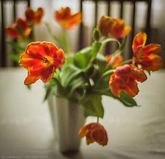 Tulip fever (Geza (aka Wilsing)) Tags: analog scanned f80 underexposed 400asa expiredfilm