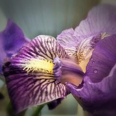 Iris Bright (gailpiland) Tags: iris red flower macro nature purple soe tmi thegalaxy flickraward theperfectphotographer thebestofday ringexcellence rememberthatmomentl1 infinitexposure