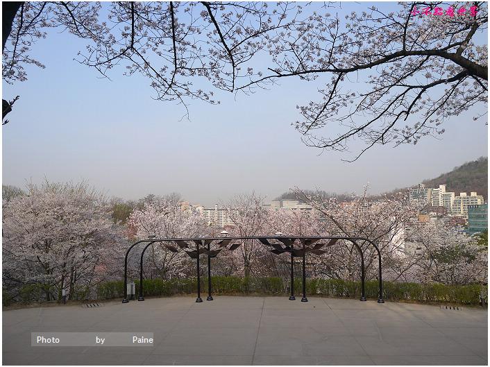首爾鞍山公園櫻花道안산공원벚꽃길 (11).jpg