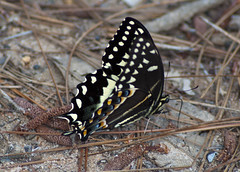 Eastern Black Swallowtail (Papilio polyxenes) {Explore} (fisherbray) Tags: statepark usa butterfly unitedstates florida holt schmetterling blackwaterriver papiliopolyxenes easternblackswallowtail santarosacounty parsnipswallowtail americanswallowtail fisherbray