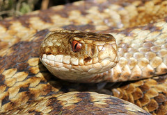 Adder (f) (Steviethewaspwhisperer) Tags: snake pair cop mating tied mate genitals viper snakes adder copulation genitalia adders vipers paired hemipenes