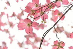 flowering dogwood (to the dream) Tags: