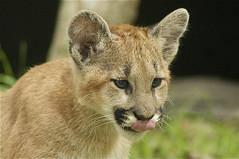 little tongue (ucumari photography) Tags: animal mammal zoo cub nc north carolina april puma cougar mountainlion 2014 catamount ucumariphotography dsc8895 dsc8888