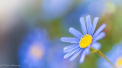 So many in Spring... (frederic.gombert) Tags: flowers blue light summer sky sun plant flower macro yellow garden spring nikon dof bokeh greatphotographers d810