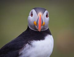 Puffin (forbesimages) Tags: sea wild bird nature canon island clown puffin mull isle lunga treshnish