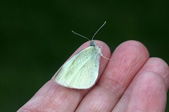 First Butterfly Of 2016 001 - Pieris Rapae (Chrisser) Tags: ontario canada nature digital butterfly insect butterflies insects pierisrapae pieridae lens00025 canoneosrebelt1i smallwhitecabbagebutterfly canonefs60mmf28macrousmprimelens