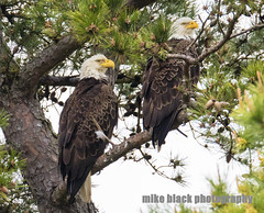 Bald Eagle Pair Canon 5Ds see Full size (Mike Black photography) Tags: new black bird mike nature canon lens big eagle year birding bald nj shore jersey 800mm 5ds