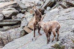 Sono pi forte io (Luciano Fochi) Tags: ibex valledaosta granparadiso stambecchi valsavaranche