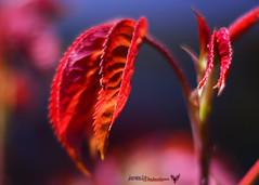 hojas del rosal (joxe@n) Tags: macro hojas rojo desenfoque salamanca makro rosal ramas laalamedilla aybalaostia nikkor50mmf18g nikond5200 joxenfoto joseantonioandresgomez