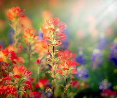 A good day (JohnNguyen0297) Tags: light 50mm spring texas dof dream houston bluebonnet indianpaintbrush chappellhill a6000 ilce6000 johnnguyen0297