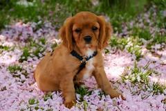 Familienzuwachs (sigiha1953) Tags: dog animal iso800 king fuji charles hund spaniel cavalier tier cavalierkingcharlesspaniel 2016 rassehund cavalierking pedigreedog charlesspaniel xpro1 fujixpro1 fujixf18135mmf3556rlmoiswr