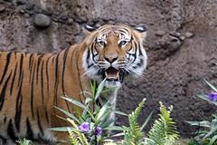 Busch Gardens: Bundar & Rukayah (Malayan Tiger) (Jasmine'sCamera) Tags: tampa tiger malayan buschgardens busch malayantiger bundar rukayah
