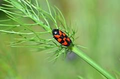 DSC_8773 (sylvettet) Tags: nature 2016 cercopesanguin nikond5100