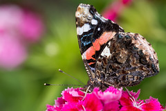 Red Admiral (Tadas Telksnys) Tags: lithuania lietuva insect butterfly animal admiral redadmiral sigma105mmf28exdgoshsm outdoor nature vanessaatalanta macro macrophotography closeup