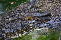 Crocodile (PacificKlaus) Tags: eye closeup reptile philippines crocodile palawan puertoprincessa crocodylusporosus