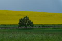 DSCF6027ir (Denkrahm) Tags: tree yellow germany landscape eifel denkrahm fields raps perl rapeseed villaborg saarhunsrcksteigtraumschleifen villaborgtrail