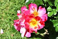 Maig_1152 (Joanbrebo) Tags: barcelona park flowers parque flores fleur blossom blumen fiori parc flors autofocus parccervantes efs18135mmf3556is canoneos70d
