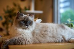 Cat (428sr) Tags: nikon neko  ragdoll  kuranosuke miaw