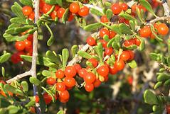 Lycium brevipes fruit (Dick Culbert) Tags: fruit berries bajacalifornia frutilla solanaceae taxonomy:family=solanaceae desertthorn lyciumbrevipes geo:lat=23355 geo:long=11018 taxonomy:common=desertthorn taxonomy:common=frutilla taxonomy:binomial=lyciumbrevipes